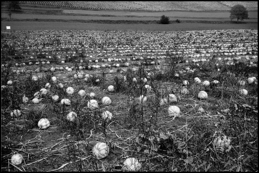 96.Cabbage