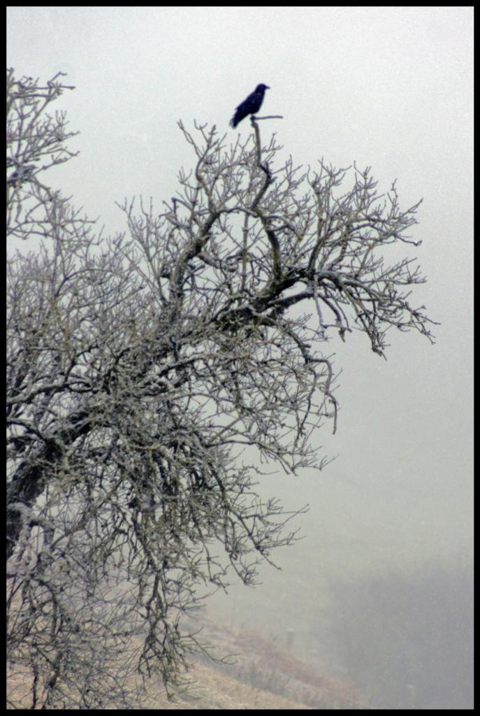 120. Raven